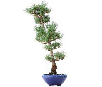 Pinus parviflora Goyomatsu, 41,5 cm, ± 8 years old