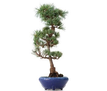 Pinus parviflora Goyomatsu, 38,5 cm, ± 8 years old