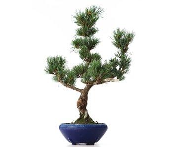 Pinus parviflora Goyomatsu, 40,5 cm, ± 8 years old