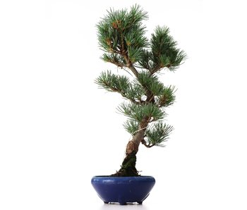 Pinus parviflora Goyomatsu, 39 cm, ± 8 years old