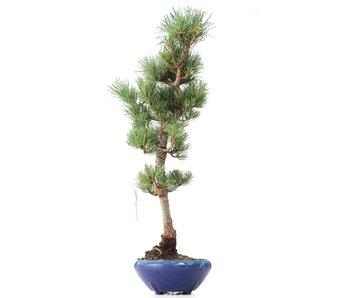 Pinus parviflora Goyomatsu, 46 cm, ± 8 years old