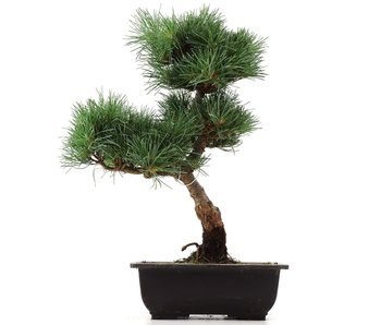 Pinus parviflora Goyomatsu, 34 cm, ± 12 years old