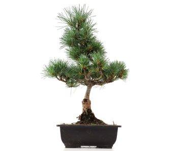 Pinus parviflora Goyomatsu, 39,5 cm, ± 12 years old