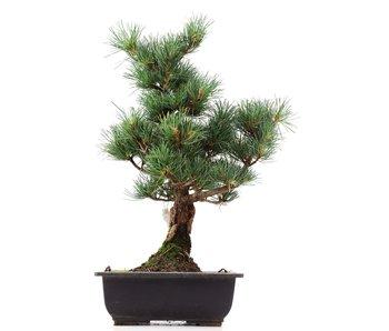 Pinus parviflora Goyomatsu, 37 cm, ± 12 years old