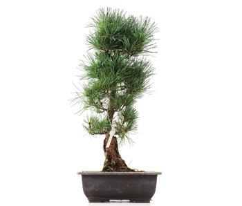 Pinus parviflora Goyomatsu, 41,5 cm, ± 12 years old