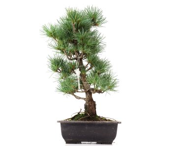 Pinus parviflora Goyomatsu, 39 cm, ± 12 years old