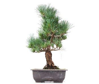 Pinus parviflora Goyomatsu, 37,5 cm, ± 12 years old
