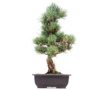 Pinus parviflora Goyomatsu, 41 cm, ± 12 years old