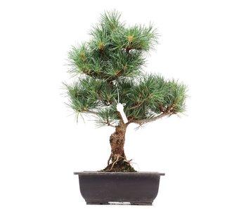 Pinus parviflora Goyomatsu, 36 cm, ± 12 years old