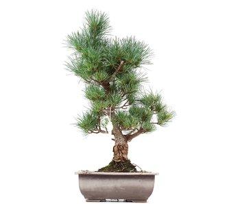 Pinus parviflora Goyomatsu, 40 cm, ± 12 years old