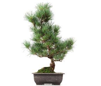 Pinus parviflora Goyomatsu, 46 cm, ± 12 years old