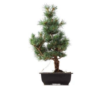 Pinus parviflora Goyomatsu, 44,5 cm, ± 12 years old