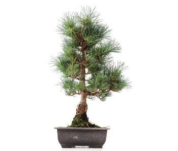 Pinus parviflora Goyomatsu, 43,5 cm, ± 12 years old
