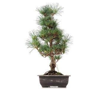 Pinus parviflora Goyomatsu, 44 cm, ± 12 years old
