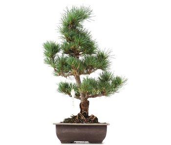 Pinus parviflora Goyomatsu, 42 cm, ± 12 years old