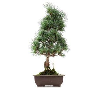 Pinus parviflora Goyomatsu, 45 cm, ± 12 years old