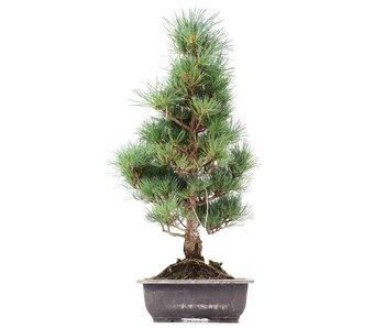 Pinus parviflora Goyomatsu, 48,5 cm, ± 12 years old
