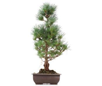 Pinus parviflora Goyomatsu, 50 cm, ± 12 years old