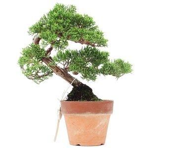Juniperus chinensis Itoigawa, 17 cm, ± 35 jaar oud