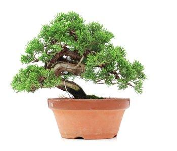 Juniperus chinensis Itoigawa, 18 cm, ± 35 jaar oud