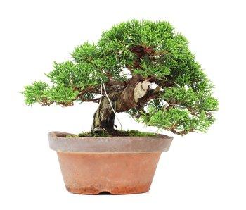 Juniperus chinensis Itoigawa, 16,5 cm, ± 35 jaar oud
