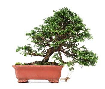 Juniperus chinensis Itoigawa, 20 cm, ± 35 jaar oud