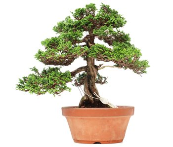 Juniperus chinensis Itoigawa, 27 cm, ± 35 jaar oud