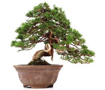 Juniperus chinensis Itoigawa, 31 cm, ± 35 años
