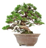Juniperus chinensis Itoigawa, 31 cm, ± 35 jaar oud