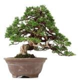 Juniperus chinensis Itoigawa, 31 cm, ± 35 years old