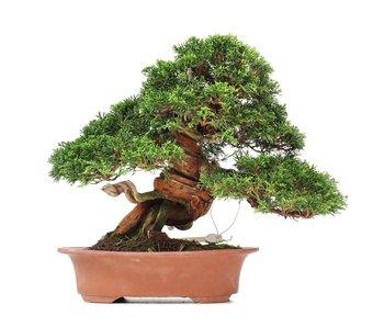 Juniperus chinensis Itoigawa, 27 cm, ± 35 years old