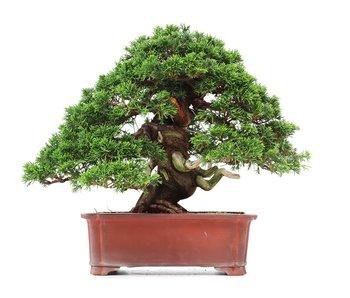 Juniperus chinensis Itoigawa, 28 cm, ± 35 years old
