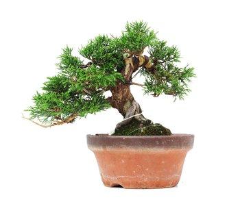 Juniperus chinensis Itoigawa, 17 cm, ± 35 years old