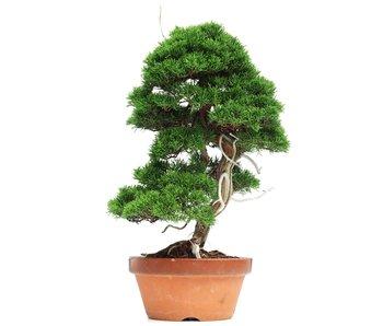 Juniperus chinensis Itoigawa, 44 cm, ± 35 years old