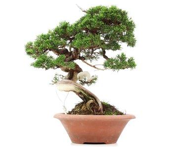 Juniperus chinensis Itoigawa, 35 cm, ± 35 jaar oud