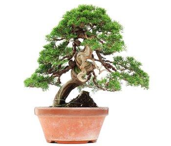 Juniperus chinensis Itoigawa, 34 cm, ± 35 jaar oud