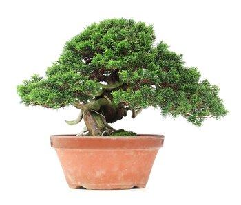 Juniperus chinensis Itoigawa, 27,5 cm, ± 35 jaar oud