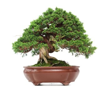Juniperus chinensis Itoigawa, 29 cm, ± 35 anni