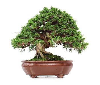 Juniperus chinensis Itoigawa, 29 cm, ± 35 años