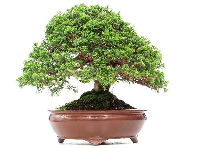 Juniperus chinensis Itoigawa, 29 cm, ± 35 jaar oud