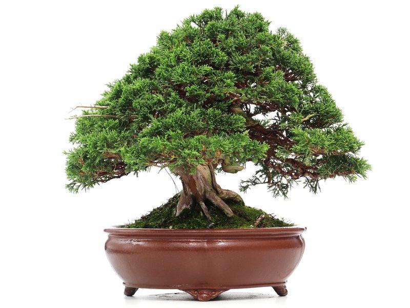 Juniperus chinensis Itoigawa, 29 cm, ± 35 years old