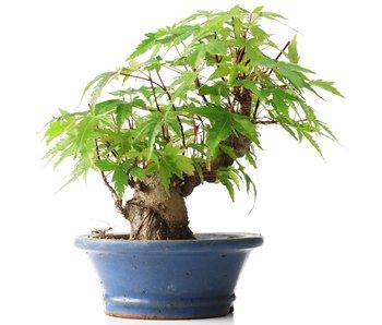 Acer palmatum, 14 cm, ± 35 jaar oud