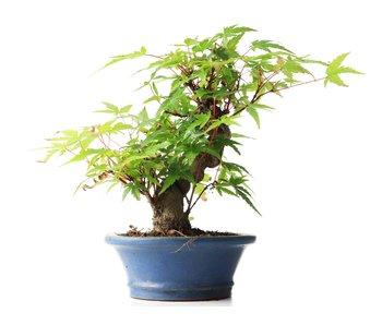 Acer palmatum, 15 cm, ± 35 jaar oud