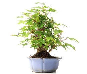Acer palmatum, 19 cm, ± 35 jaar oud