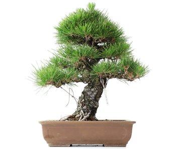 Pinus thunbergii, 34 cm, ± 35 years old