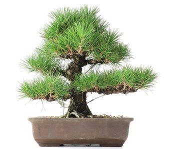Pinus thunbergii, 37 cm, ± 35 years old