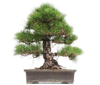 Pinus thunbergii, 43,5 cm, ± 35 years old