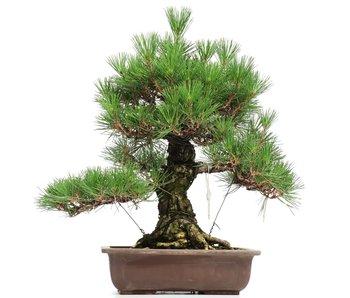 Pinus thunbergii, 52 cm, ± 35 jaar oud