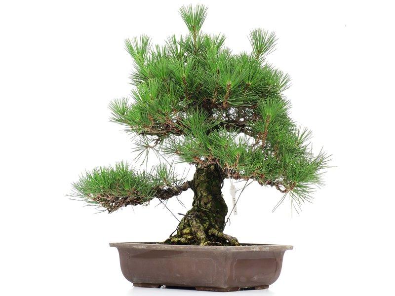 Pinus thunbergii, 52 cm, ± 35 years old