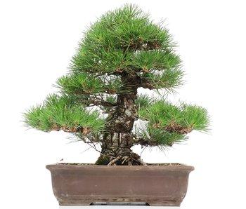 Pinus thunbergii, 44 cm, ± 35 jaar oud